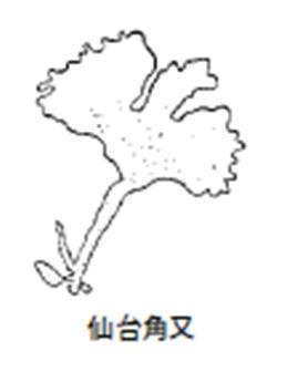 銀杏草:俗に「つのまた」とも呼ばれ仙台物(金華山沖)を最良としています。